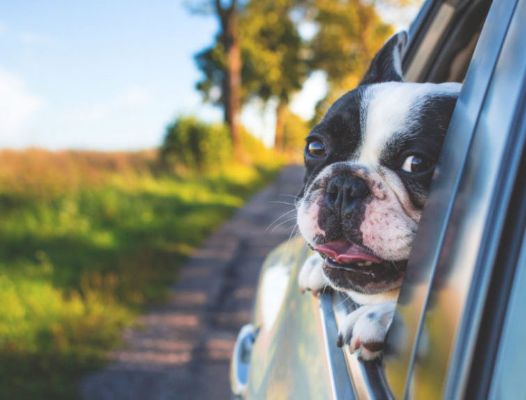 Pictured is a Boston Terrier dog riding in a vehicle with his head out the window.